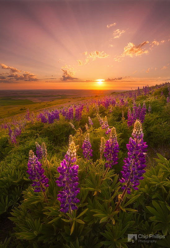 Palouse Lupine Rays - copyright Chip Phillips