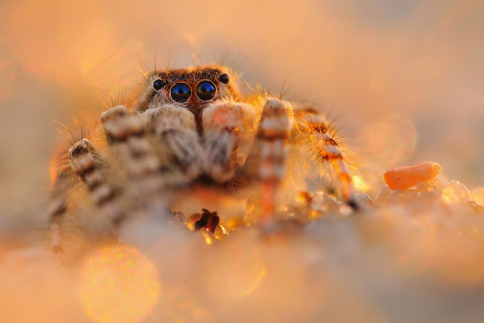 Ganger Spinne