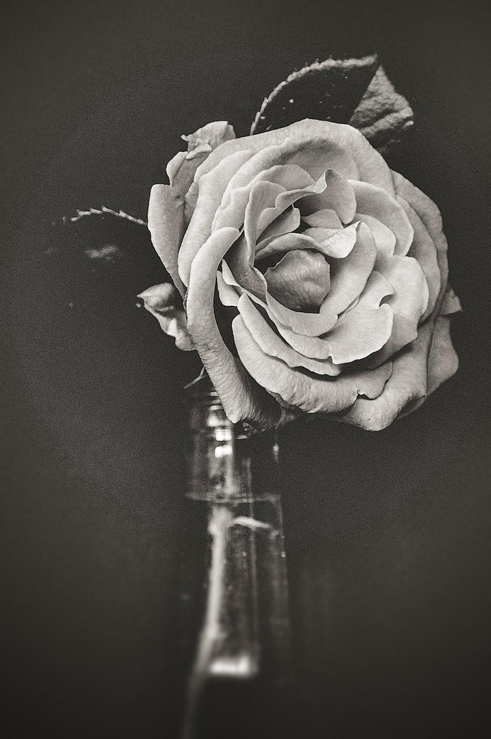 Eine Blume, schwarzweiß (sepia) und hochkant fotografiert. Die Blüten sind sehr gut zu erkennen.