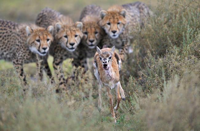 Focusing on Thomson's gazelles