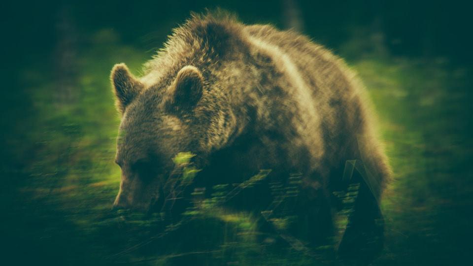 Bear_©_Alexander-Kopatz