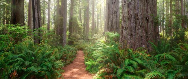 Redwoods Panorama © Michael Breitung