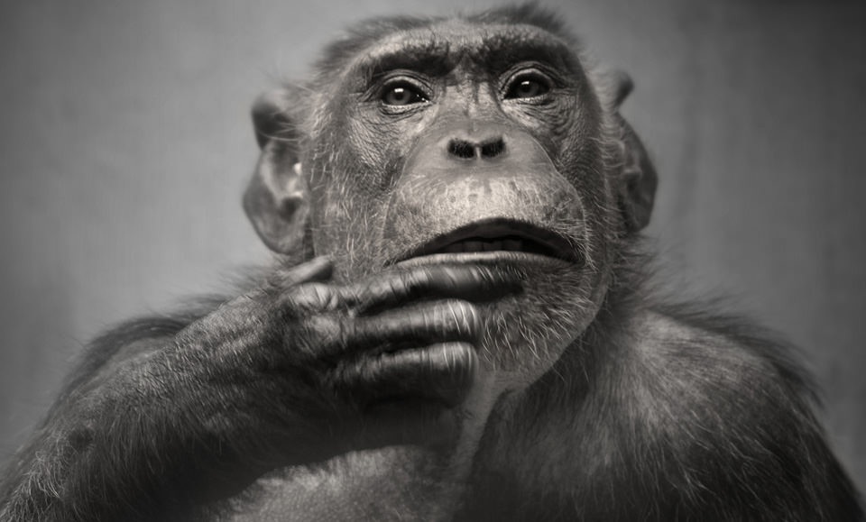 The Chimp © Daniel Book