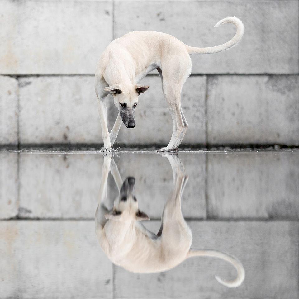 Ein Hund betrachtet sein Spiegelbild in einer Pfütze.