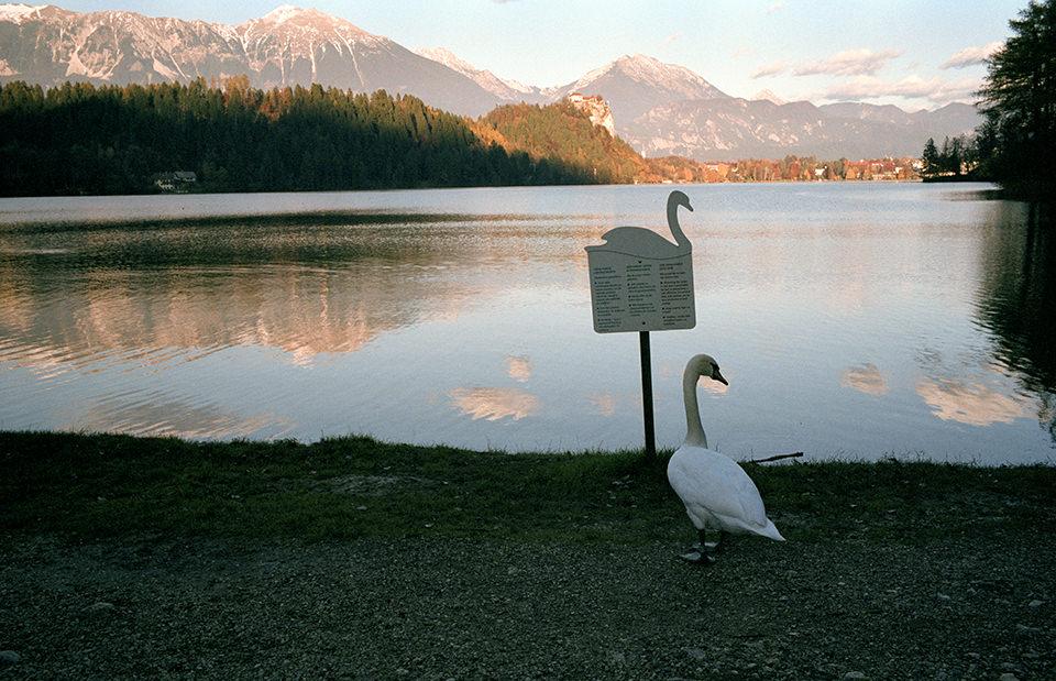 Ein Schwan steht an einem See vor einem Schild, das selbst auch ein Schwan ist. Melbourne, Straßenfotografie von Jesse Marlow.
