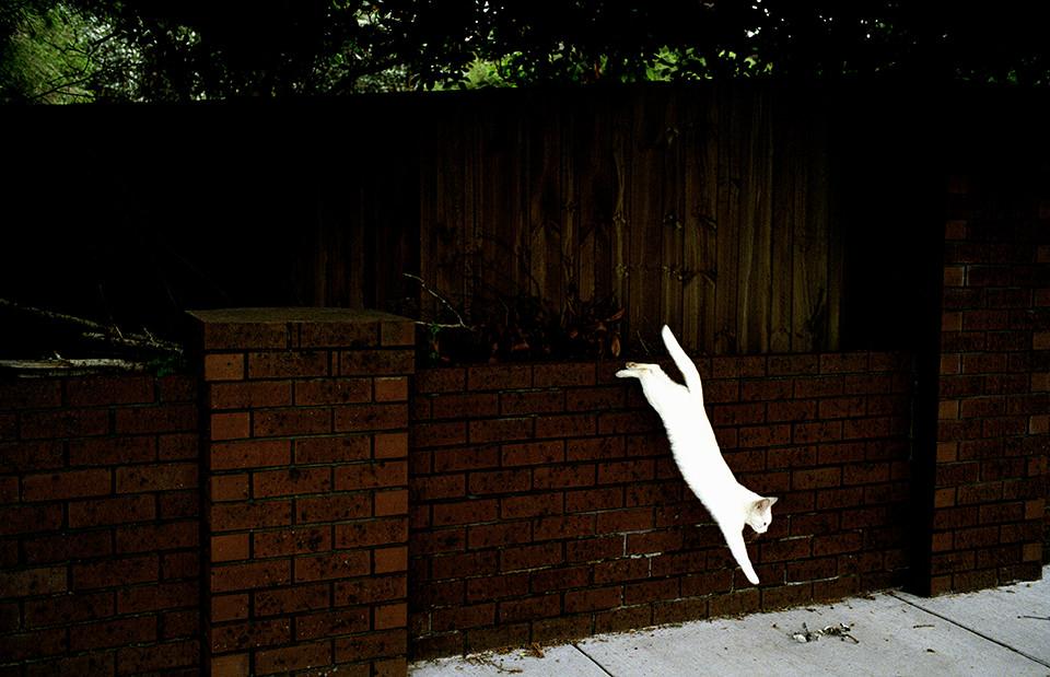 Eine weiße Katze springt eine Mauer hinunter. Melbourne, Straßenfotografie von Jesse Marlow.