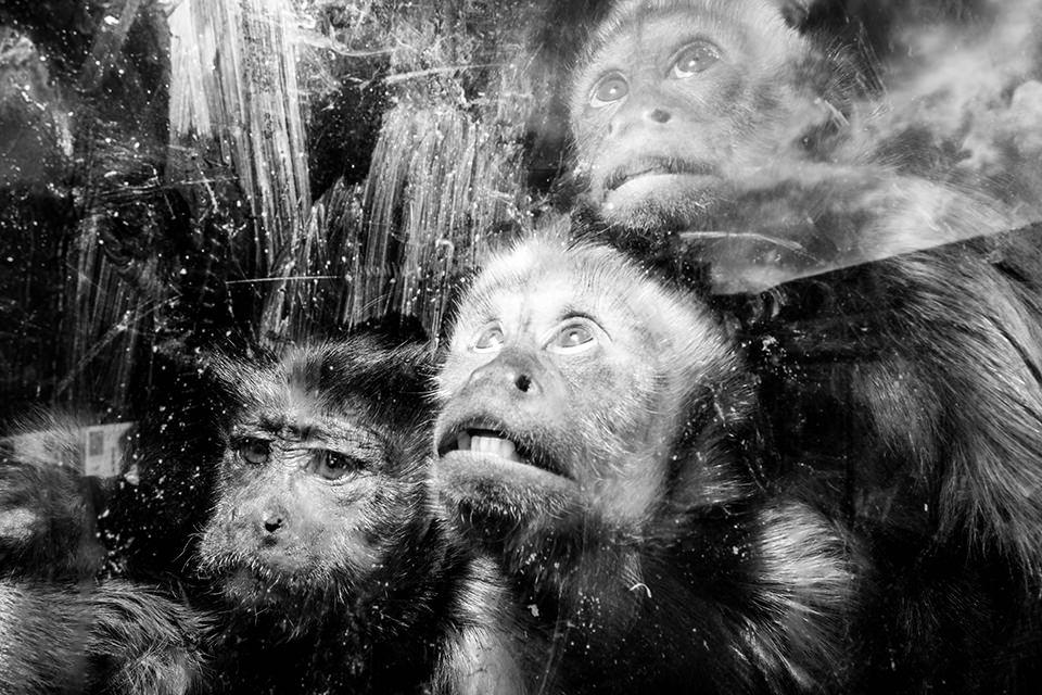 Drei Affen, die nach oben schauen.