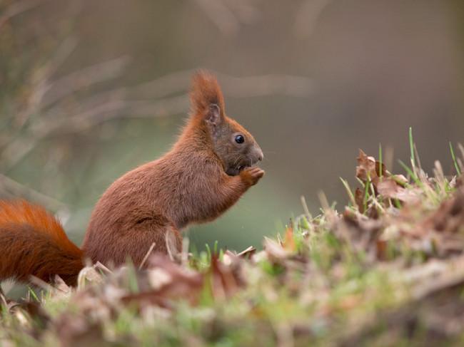 Eichhörnchen in Nahaufnahme.