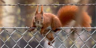 Ein Eichhörnchen auf einem Zaun.