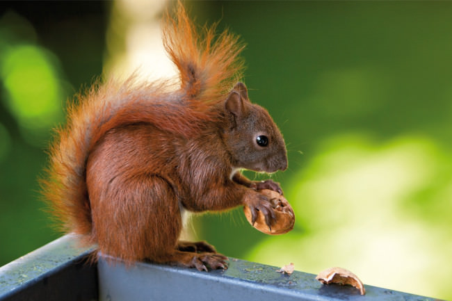 Ein Eichhörnchen isst eine Nuss.