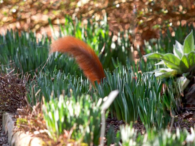 Der Schwanz eines Eichhörnchens.
