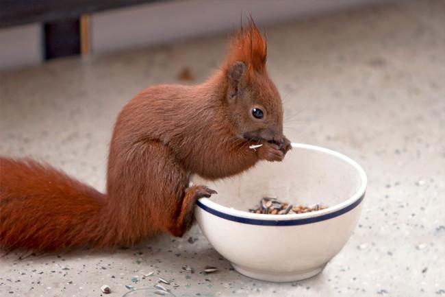 Ein Eichhörnchen frisst aus einem Napf.
