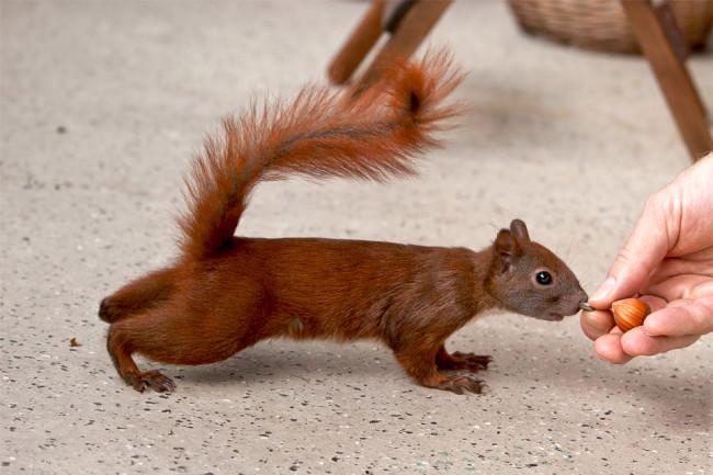 Ein Eichhörnchen wird gefüttert.