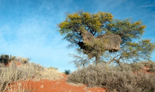 Baum mit einer großen Stadt aus Vogelnestern in den Zweigen.