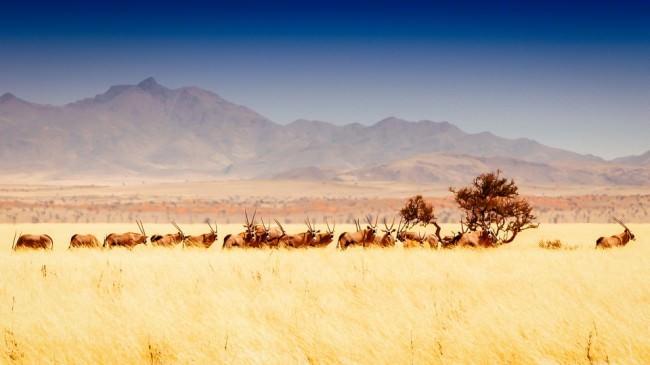 Eine Herde Oryxe im hohen, gelben Gras vor einem Gebirge.