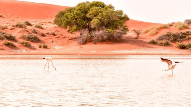 Flamingos in einem See vor roter Dünenlandschaft.