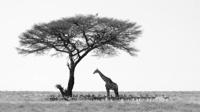 Eine Giratte und eine Herde Oryxe stehen im Schatten eines Baumes, auf dessen Spitze ein Vogel sitzt.