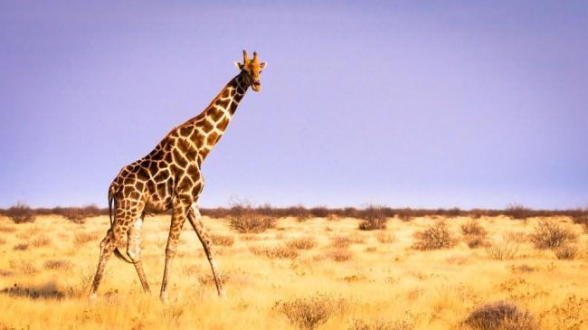 Eine Giraffe schreitet durch die Steppe.