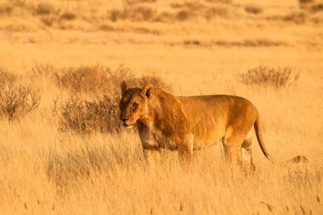 Eine Löwin der Steppe.