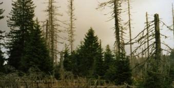 Nadelbäume, davon einige tot und ein paar abgeholzte im Vordergrund.