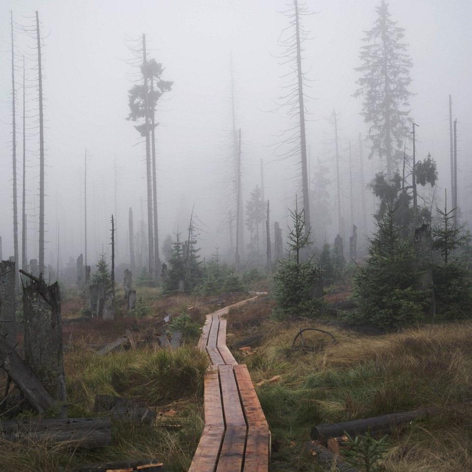 Wein Weg aus Holzplanken, der in ein Nebelfeld führt, in dem einige, vor allem tote Bäume, stehen.