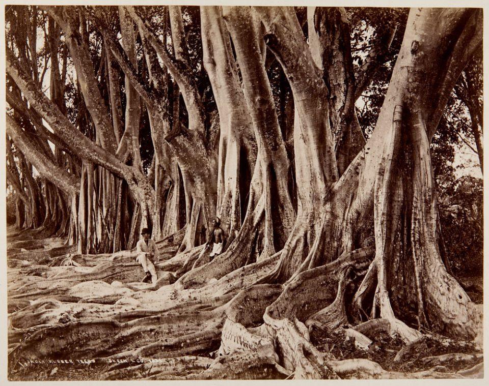 Eine Reihe indischer Gummibäume, auf deren großen Wurzeln zwei Männer sitzen.