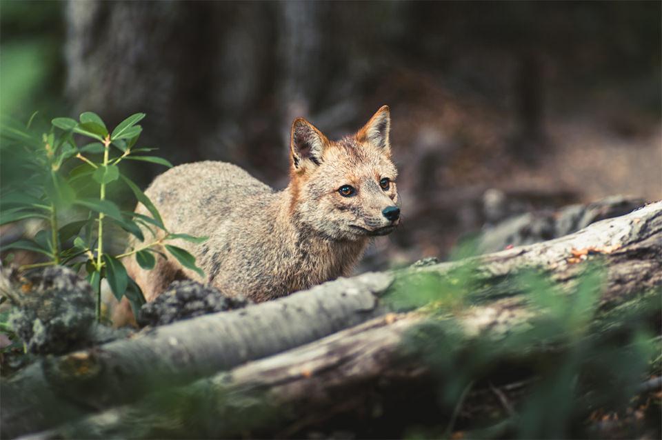 Ein Fuchs steht hinter einem umgefallenen Baumstamm.