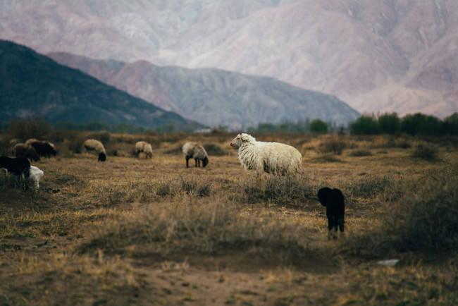 Zottige Schafe weiden vor einem gewaltigen Gebirgshang.