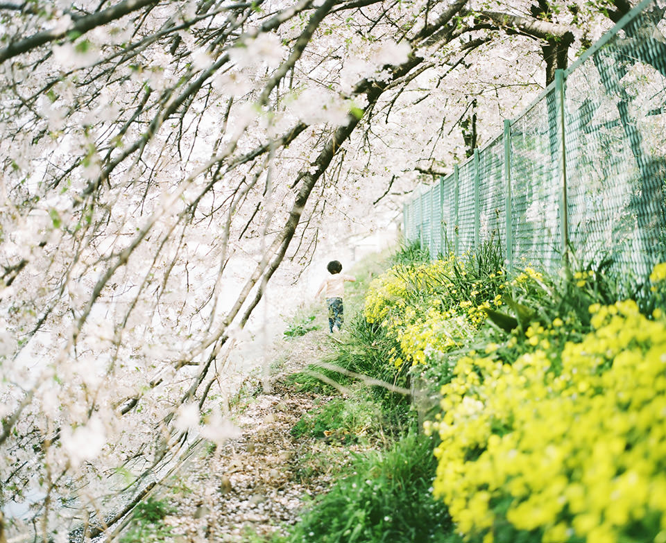 Ein Kind läuft unter Kirschblüten.