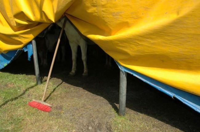 Die Beine eines Pferdes schauen unter einer gelben Plane hervor, die von einem Besen gestützt wird.