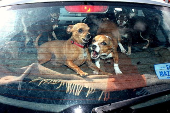 Zwei Hunde auf der Hutablage in einem Auto.