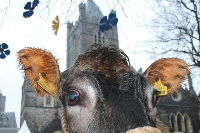 Eine Kuh sehr nah.