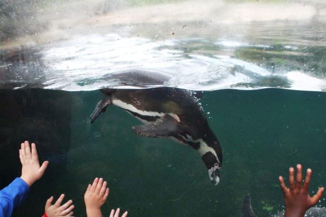 Pinguin in einem Becken, an der Scheibe Kinderhände.