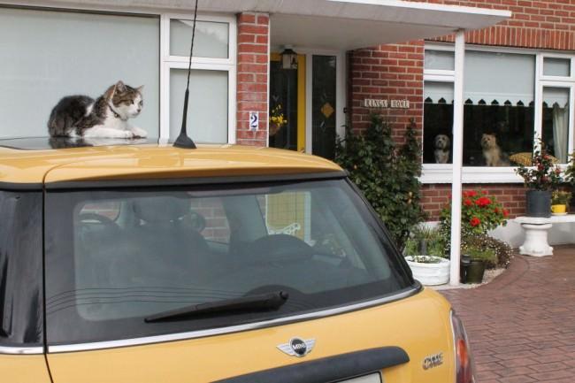 Eine Katze auf einem gelben Auto.