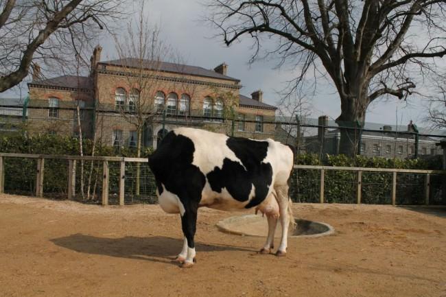 Eine Kuh.