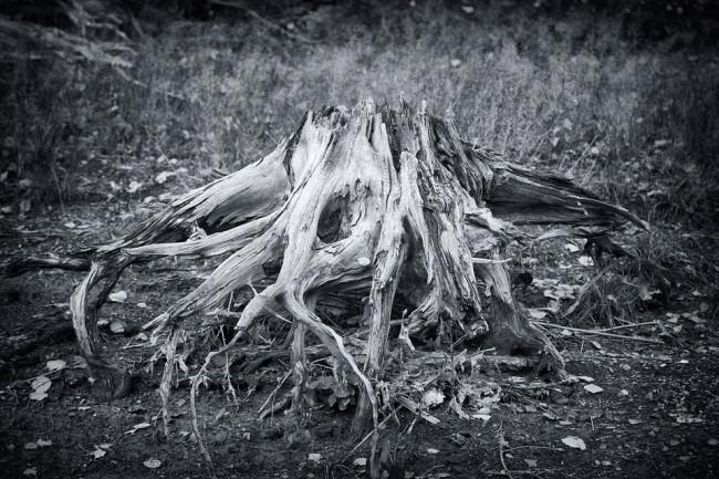 Die Wurzel eines toten Baumes