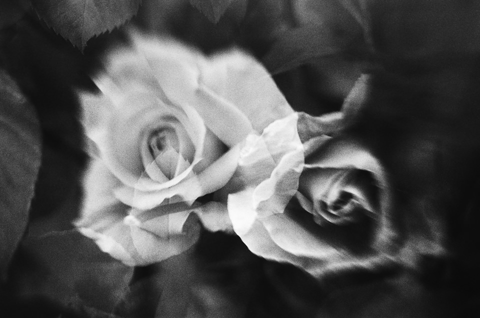 Zwei Rosenblüten.