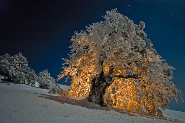 Eine Buche bei Nacht und im Schnee, von hinten beleuchtet.