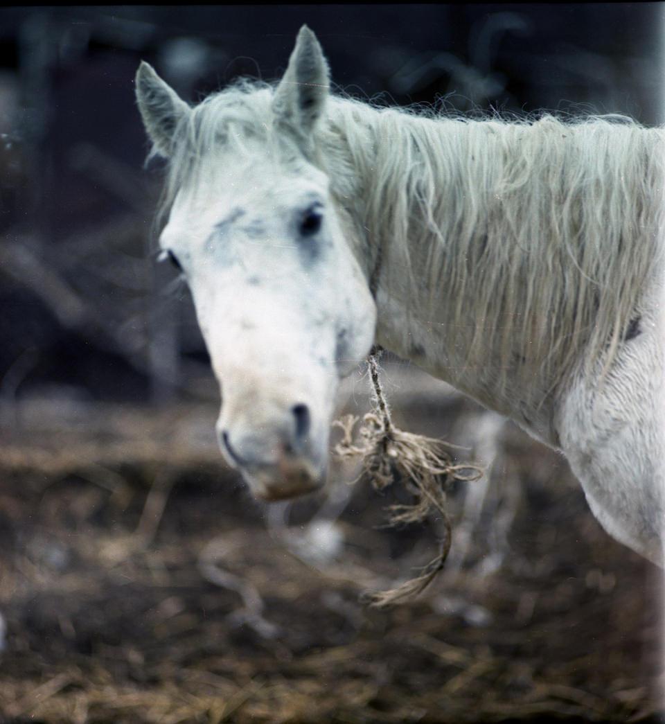 ein weißes Pferd schaut zur Seite