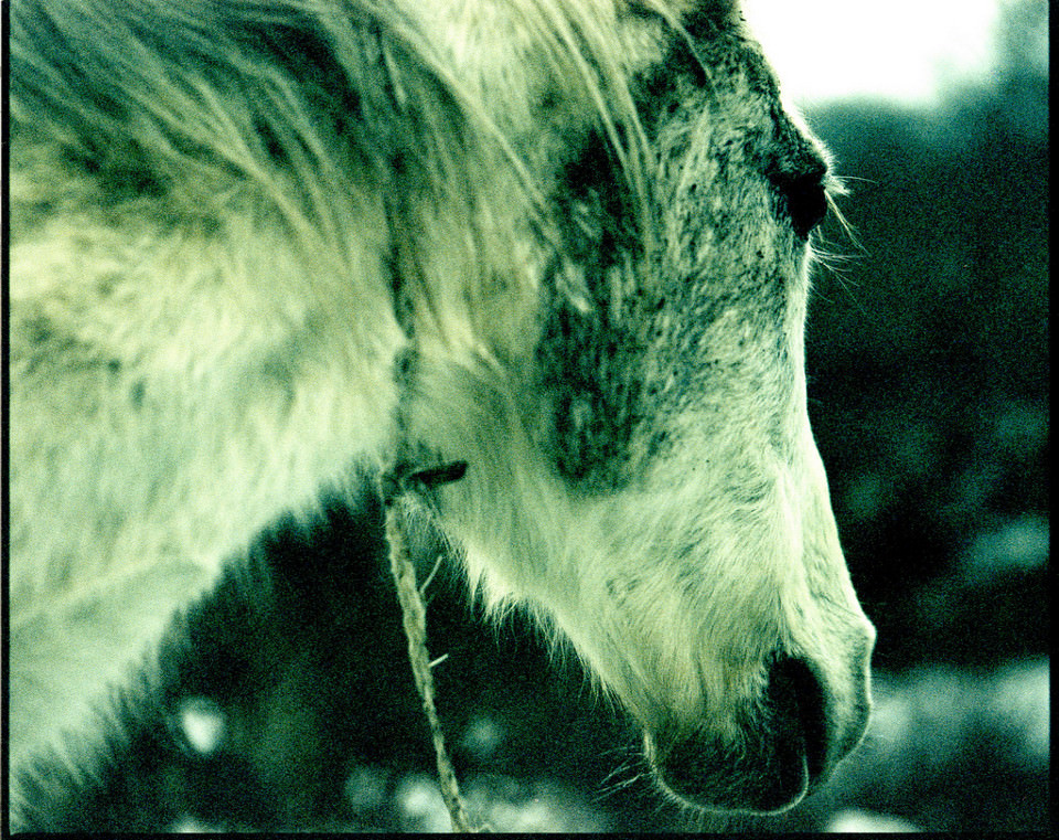 Ein weißes zotteliges Pferd sehr nah.