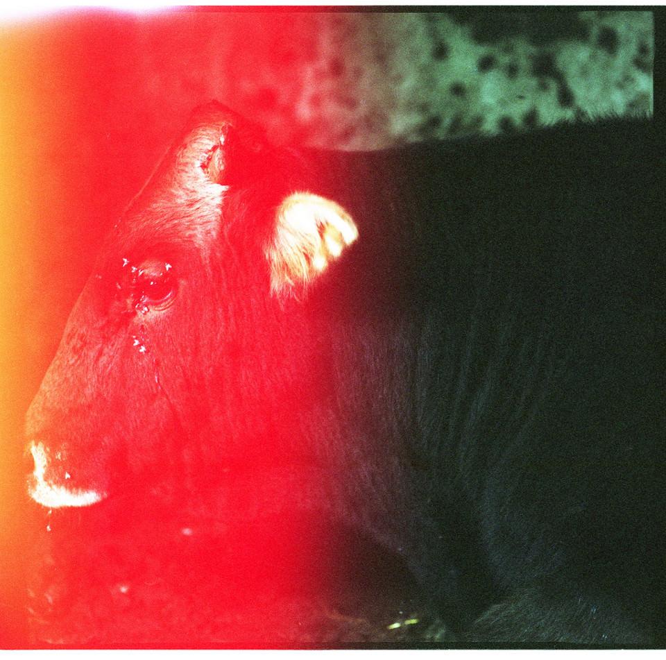 Kuh mit Fliegen an den Augen und Belichtungsfehler
