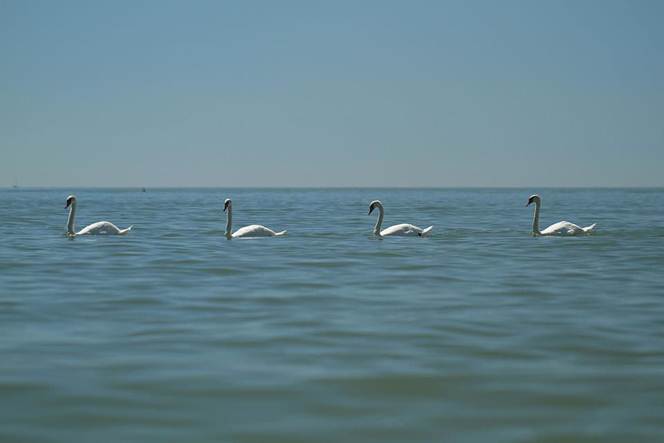 Vier Schwäne schwimmen in Reihe hintereinander.