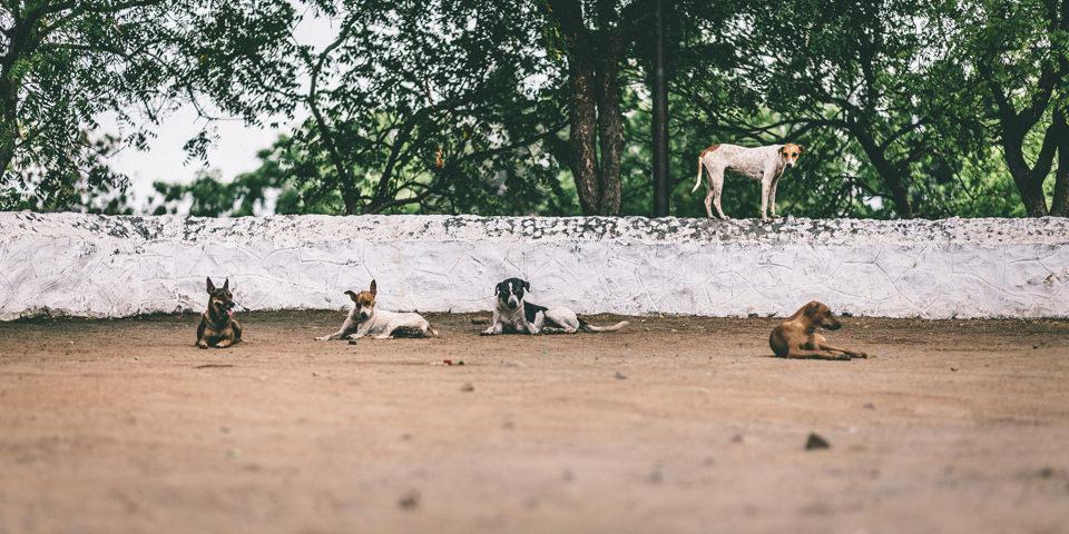 Hunde auf der Straße