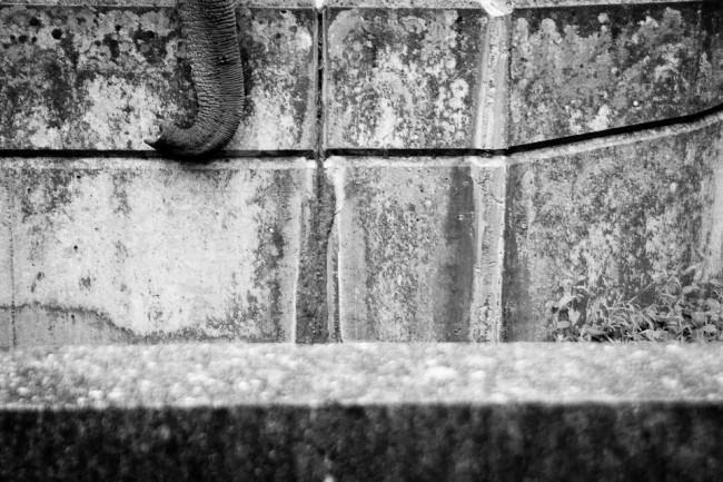Der Rüssel eines Elefanten hängt über eine Mauer