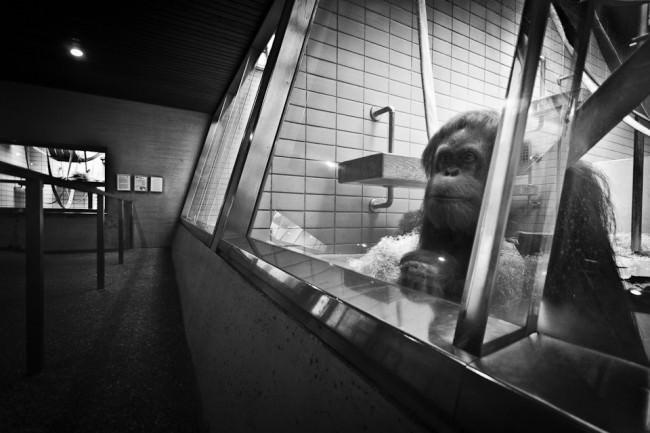 Ein Orang-Utan sitzt alleine hinter einer Scheibe