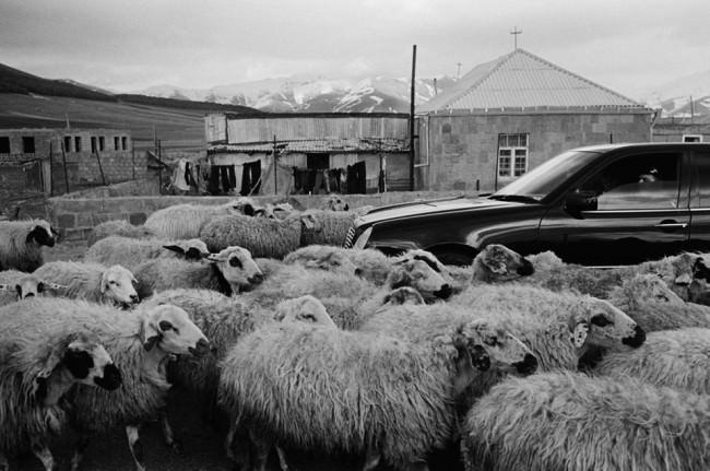 Schafe, überall Schafe!