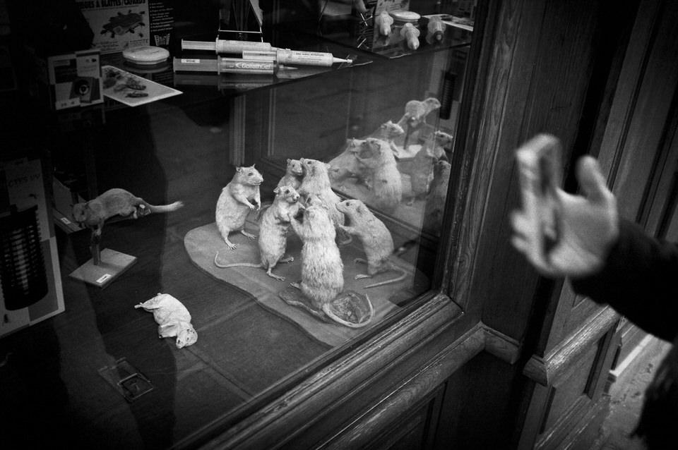 In einem Schaufenster tanzen ausgestopfte Ratten miteinander.