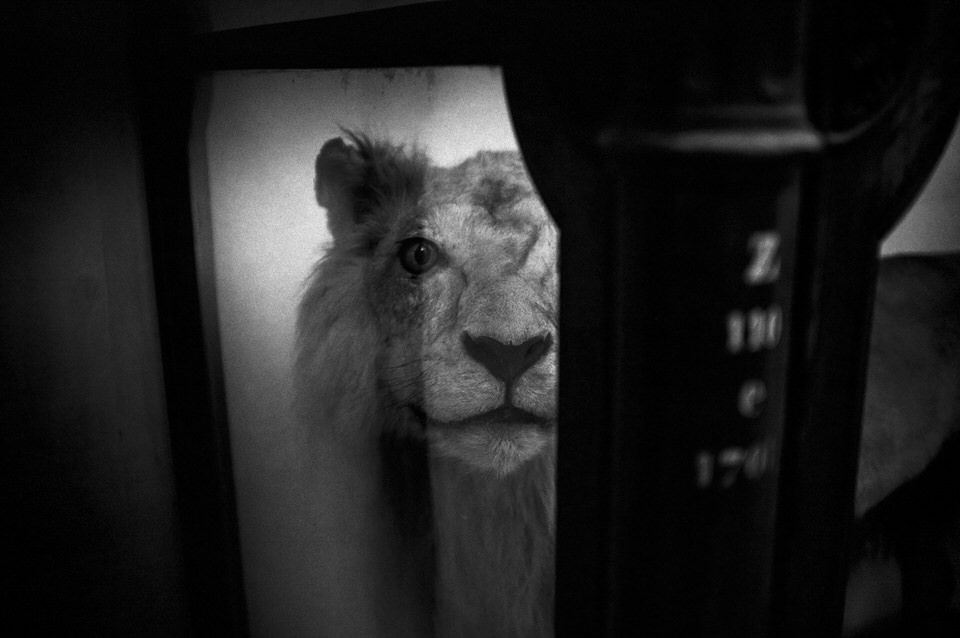 Das Bild eines Löwen halb verdeckt.