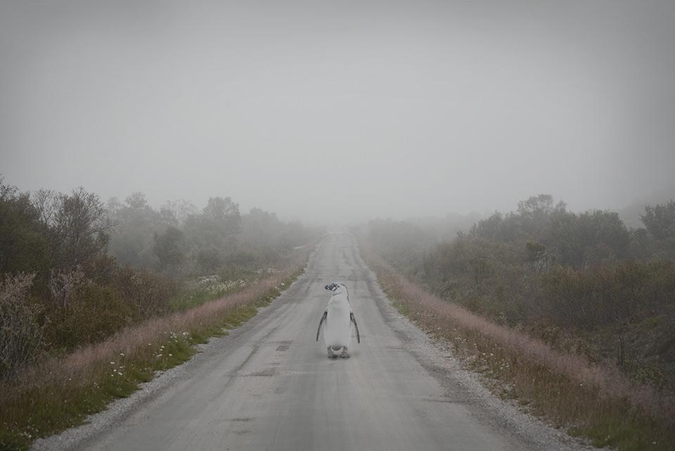 Ein Pinguin steht auf einer Straße zwischen zwei wilden Wiesen in leichtem Nebel.