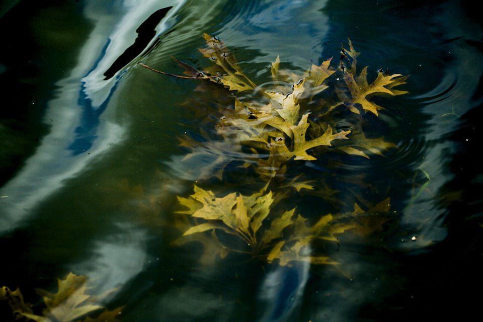 Gelbe Laubblätter im Wasser.